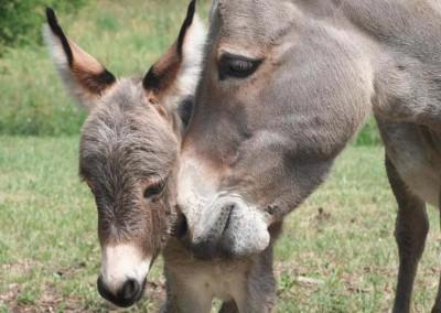 L'âne et la charette