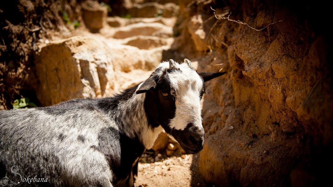 Mikado, la chèvre mascote